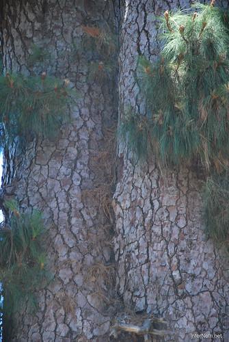 Найстаріша канарська сосна, Тенеріфе, Канари  InterNetri  14