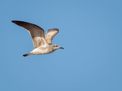 Gull in flight (Ed Rosack) Tags: usa landscape flight haulovercanal riverscape bird centralflorida merrittislandnationalwildliferefuge 35gullsternsandskimmers florida bif minwr titusville