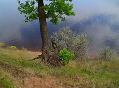 Uprooting oak (МирославСтаменов) Tags: russia togliatti slope oak tree roots water volga