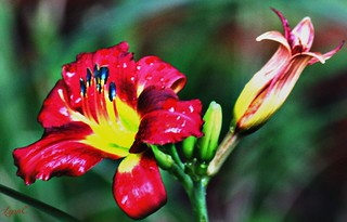 Red Lily in the Garden