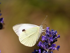 Butterfly (Deanne Wildsmith) Tags: butterfly insect lichfield earthnaturelife staffordshire