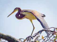 Tri-colored Heron (tresed47) Tags: 2018 201807jul 20180716delawarebirds birds bombayhook canon7d content delaware folder heron july peterscamera petersphotos places season summer takenby tricoloredheron us