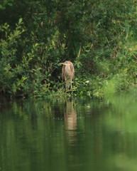 1S9A6154 (saundersfay) Tags: heron purple bird rare sighting sevenoaks