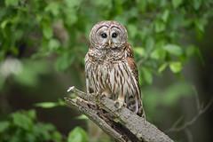 Sweet & Innocent? (DTT67) Tags: barredowl owl 14xtciii 500mm 1dxmkii canon maryland bird birdofprey wildlife nature