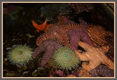 <^> Sea Floor Denizens - III. <^> (Wolverine09J ~ 1.5 Million Views) Tags: midnightandoregonjun18 seafloor denizens marine starfish seaanemones centralcoast aquarium oregon clustered nature naturespotofgold colorful blinkagain beautifulearth artofimages batslair