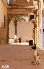 Cat @ Essaouira (morbidtibor) Tags: cat kat kater poes pussycat kitten marocco marokko essaouira