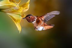 Adult Male Allen's (Patricia Ware) Tags: 500mmf4lisusm allenshummingbird backyard birdsinflight california canon fullframe manhattanbeach multipleflash selasphorussasin tripod ©2018patriciawareallrightsreserved specanimal sunrays5