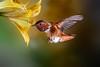 Adult Male Allen's (Patricia Ware) Tags: 500mmf4lisusm allenshummingbird backyard birdsinflight california canon fullframe manhattanbeach multipleflash selasphorussasin tripod httppwarezenfoliocom ©2018patriciawareallrightsreserved specanimal