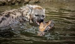 Tüpfelhyäne (Fritz Zachow) Tags: tüpfelhyäne hyäne wasser holz tierpark deutschland berlin