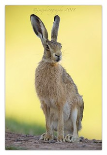 Close encounter of the Hare Kind