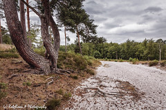 20180623-4340-Brunssummerheide-bw (Rob_Boon) Tags: boom brunssummerheide colefpro4 landschap robboon landscape limburg netherlands heath pine tree