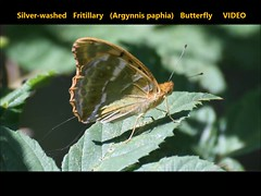 Silver-washed Fritillary (Argynnis paphia) Butterfly  VIDEO (Brian Carruthers-Dublin-Eire) Tags: silverwashed fritillary butterfly argynnis paphia silverwashedfritillary argynnispaphia silverwashedfritillarybutterfly fritileán geal tabac despagne kaisermantel fritileángeal tabacdespagne animalia arthropoda insecta lepidoptera nymphalidae apaphia macro insect garden woodland wood lullymore bog lullymorebog phoenix phoenixpark ireland dublin video recording videorecording mov mp4