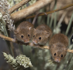 Harvest Mice (julie.johnson931) Tags: select ngc greatphotographers harvestmice wild animal wheat cute