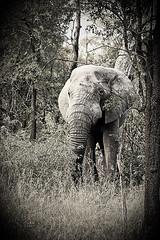 Contraste en B&W - Parque Nacional Kruger (BarbaraCiminari) Tags: sudáfrica sudafrica kruger nationalpark natu nature naturaleza animals animales animal