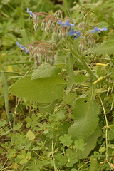 Borago officinalis 02 05 (liesvanrompaey) Tags: taxonomy:kingdom=plantae plantae taxonomy:subkingdom=tracheophyta tracheophyta taxonomy:phylum=magnoliophyta magnoliophyta taxonomy:class=magnoliopsida magnoliopsida taxonomy:order=boraginales boraginales taxonomy:family=boraginaceae boraginaceae taxonomy:genus=borago borago taxonomy:species=officinalis taxonomy:binomial=boragoofficinalis brutnáklékařský borraja borragine borage boragoofficinalis boraja boroff borragem borraina borretsch bourracheofficinale taxonomy:common=brutnáklékařský taxonomy:common=borraja taxonomy:common=borragine taxonomy:common=borage taxonomy:common=boraja taxonomy:common=boroff taxonomy:common=borragem taxonomy:common=borraina taxonomy:common=borretsch taxonomy:common=bourracheofficinale inaturalist:observation=14034738