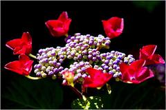 hydrangea.............. (atsjebosma) Tags: flower macro colourful bloem kleurrijk garden tuin atsjebosma groningen thenetherlands nederland summer zomer july juli 2018 sun sunlight zonlicht ngc npc coth5