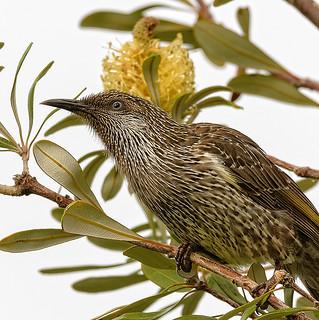 the nectar hunters - a little wattlebird #4