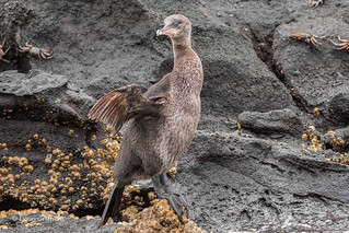Flightless Cormorant 500_4405.jpg