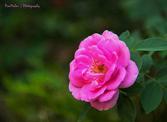 Rose (dr_malar) Tags: rose roses pink flower flowers nature floral nikon nikond750