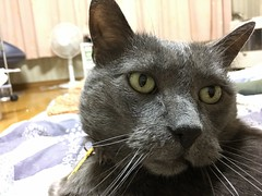 Yuba Diligently Guards the Futon (sjrankin) Tags: 12july2018 edited animal cat yuba closeup futon bedroom blanket kitahiroshima hokkaido japan