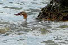 Waterbird at Lake Akan National Park, Hokkaido (PsJeremy - Lots to catch up after travelling...) Tags: merganser waterbird japan hokkaido lakeakan
