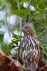 Changable Hawk-eagle (A_K_B) Tags: changable hawkeagle crested hawk eagle predator birdofprey forest bird nikon 200500