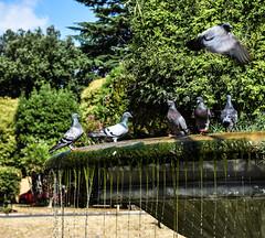 11luglio (110)-2 (..Claudia..) Tags: birds uccelli green nikon trees alberi rome roma nature water drops fontana gocce