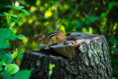 chipper (avflinsch) Tags: ifttt 500px tree trunk woods bark forest nature moss branch park lush foliage stump chipmunk animal small critter
