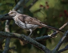 Getting Ready To Fly Away (ACEZandEIGHTZ) Tags: mockingbird nikon d3200 polyglottos mimus florida state backyard birdwatcher bokeh coth coth5 sunrays5 alittlebeauty