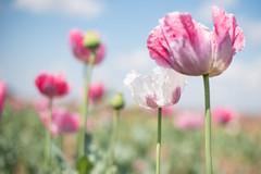 Sunlit Poppy Field (photoart33) Tags: poppies pink field shropshire soft
