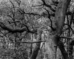 Trees (Hyons Wood) (Jonathan Carr) Tags: ancientwoodland rural northeast black white bw monochrome landscape 4x5 5x4 largeformat