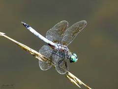 BLue Dasher IMG_6695 (Jennz World) Tags: ©jennifermlivick mountpleasantnaturepark mountpleasant mtpleasant ontario canada dragonfly damselfly