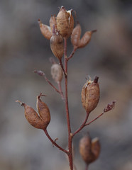 Stylidium ?, Foxes Lair Nature Reserve, Narrogin, WA, 24/03/18 (Russell Cumming) Tags: plant stylidium stylidiaceae foxeslairnaturereserve narrogin westernaustralia