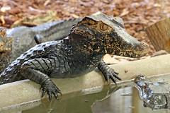 Cuiver's Dwarf Caiman - Paleosuchus palpebrosus (Roger Wasley) Tags: cuiversdwarfcaiman paleosuchuspalpebrosus dwarf caiman southamerica reptile musky smoothfronted wedgehead crocodile crocodilian alligator