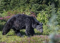 Hurricane Bear (TW Olympia) Tags: black bear olympic national parks