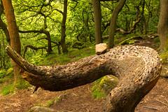 Money tree (DRWeaver) Tags: woodland trees summer landscape nature nationaltrust derbyshire outdoors peakdistrict longshaw padleygorge derbyshiredalesdistrict england unitedkingdom gb