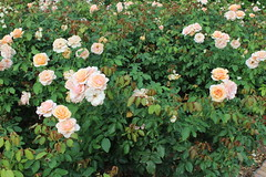 Bellingrath Gardens and Home 2018 rose garden Mother of Pearl (MJRGoblin) Tags: mobilecounty 2018 theodore alabama unitedstates usa