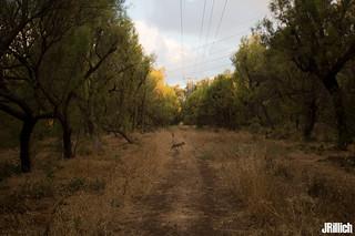 golden jackal passing by @ Yarkon Park, Tel-Aviv, Israel 2018 urban nature