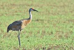 Sandhill Crane - Door County, Wisconsin (stevelamb007) Tags: wisconsin doorcounty sandhillcrane bird crane wildlife stevelamb nikon d7200 sigma 150600mmcontemporary