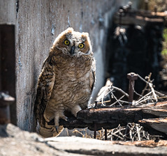 Owl Portrait (Wits End Photography) Tags: bird colorado silo abandoned owl decay kansas animal architecture decayed discarded farm forgotten forsaken neglected old outbuilding rejected round rural storage storehouse structure