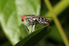 Diptera sp. (Fly) - Mahe, Seychelles (Nick Dean1) Tags: animalia arthropoda arthropod hexapoda hexapod insect insecta diptera fly seychelles indianocean mahe