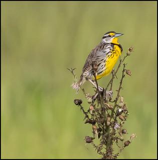 Meadowlark In Habitat