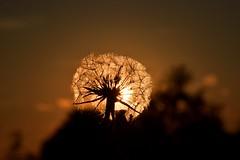 Dandelion ☀️ (Martib97) Tags: dandelion sunset sky flower allergy pertus valcava italia italy