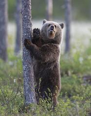 Hey there! Have a wonderful day :-) (Jyrki Liikanen) Tags: wildlife wildlifephotography wildnature cub bearcub bear bear´sface bearphotography brownbear babybear wildanimal hello hey finland kuhmo animal wood pine tree mammal forest grass cottongrass jyrkiliikanenphotography