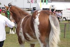 Clydesdales (Elrenia_Greenleaf) Tags: clydesdale sabino royalhighlandshow rhs rhs2018 royalhighlandshow2018 equestrian horsephotography horseshow ponies