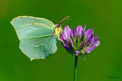 Citron (jpto_55) Tags: papillon papilloncitron macro bokeh xe1 fuji fujifilm fujixf55200mmf3548rlmois hautegaronne france