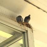 Pigeon Nest at Dundas West Station thumbnail