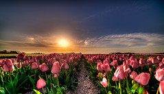 Tulips making a pathway for me. (Alex-de-Haas) Tags: 11mm adobe blackstone d850 dutch hdr holland irix irix11mm irixblackstone lightroom nederland nederlands netherlands nikon nikond850 noordholland photomatix beautiful beauty bloem bloemen bloementeelt bloemenvelden cirrus floriculture flower flowerfields flowers landscape landschaft landschap lente lucht mooi polder skies sky spring sun sundown sunset tulip tulips tulp tulpen zonsondergang