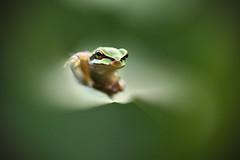 Golden Eyes. (Benji Pictures) Tags: frog grenouille rainette vert verte green greeneyes goldeneyes canon 100mm macro macrophotography
