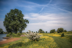 Kratos (Ingeborg Ruyken) Tags: spring flowers yellow beach mei maasuiterwaarden rivier floodplain river bloemen 500pxs boom instagram riverforeland empelfilmpjelente2018 empel tree strand flickr maas afternoon lente natuurfotografie meuse may geel middag